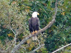 A pair of bald eagles nested on Gorham's Pond during the simmer of 2016.